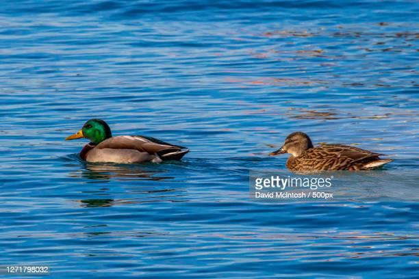 female mallard duck swimming, sarnia, canada - サルニア ストックフォトと画像