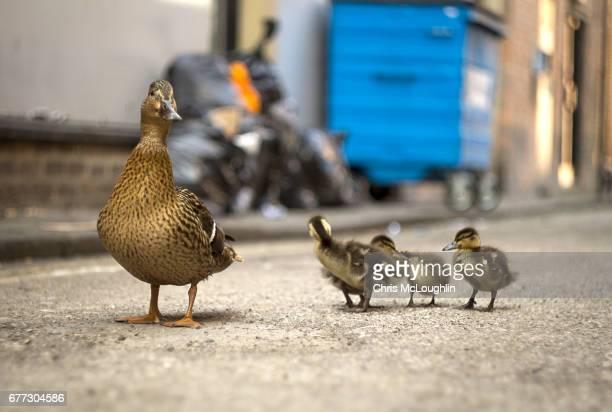 female mallard duck with chicks - anatra uccello acquatico foto e immagini stock