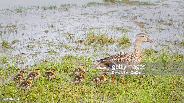 Female Mallard Duck With Ducklings On Grass At Lakeshore