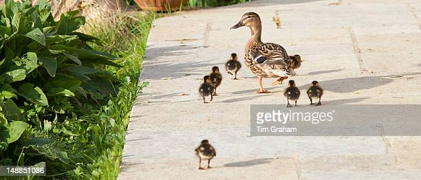 Female mallard duck with new ducklings Anas platyrhynchos strolling on garden patio in springtime at Swinbrook the Cotswolds UK