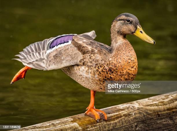 female mallard duck,edinburgh,united kingdom,uk - mike caithness stock pictures, royalty-free photos & images