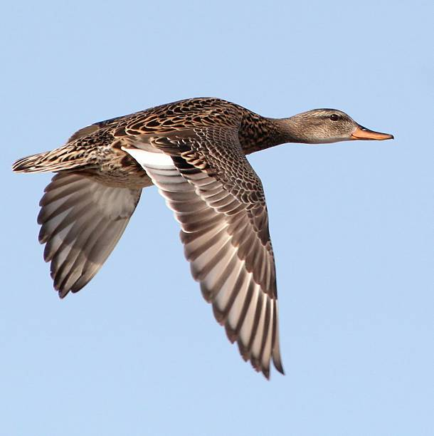 Female Mallard Wall Art