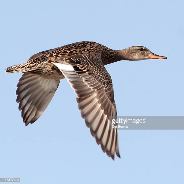 female mallard - female animal stock pictures, royalty-free photos & images