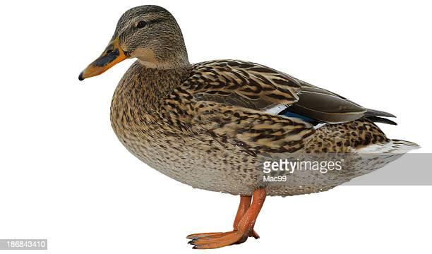 femmina mallard - anatra uccello acquatico foto e immagini stock