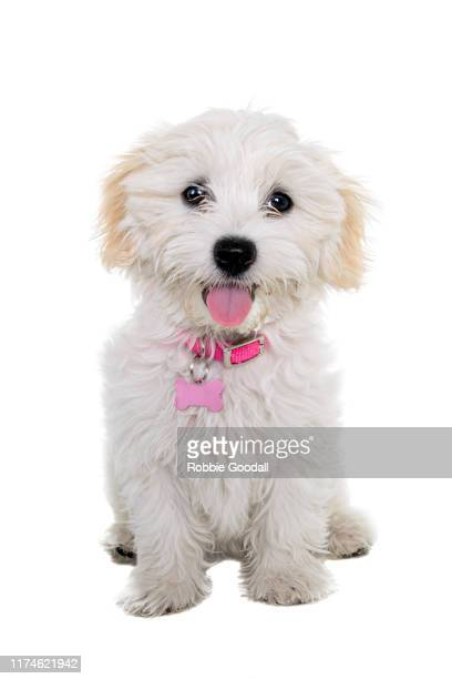 female maltese x shih tzu puppy looking at the camera on a white background - 愛玩犬 ストックフォトと画像