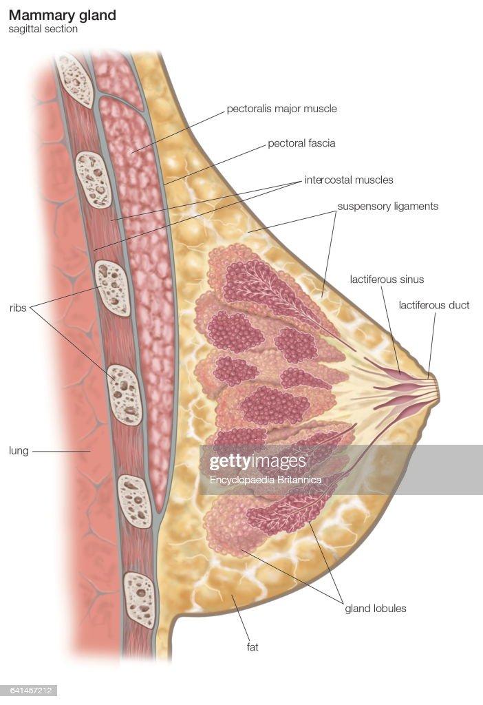 Fantastic Anatomy Of Mammary Gland Adornment Human Anatomy Images