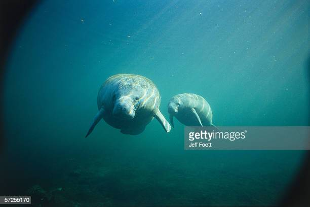 female manatee and calf swim underwater together. trichechus manatus. crystal river, florida. - florida manatee stock photos and pictures