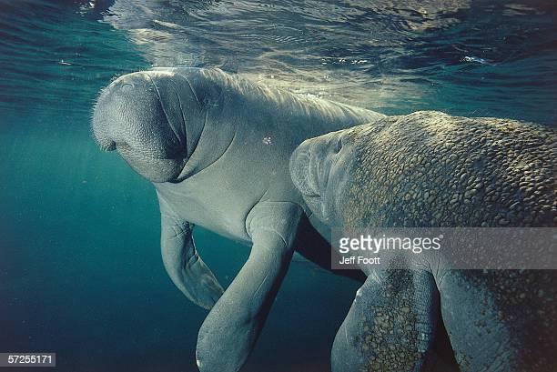 Female manatee and calf swim underwater. Trichechus manatus. Crystal River, Florida.