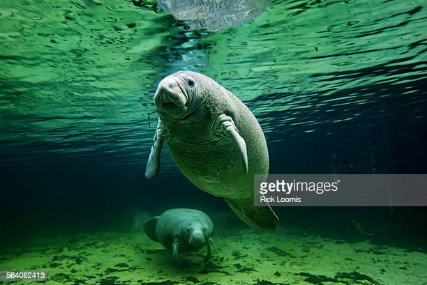 A female manatee and her calf lounge in the clear and warm freshwater spring in Florida's Crystal River The manatees hang out by the warmer water...