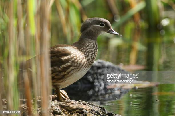 a female mandarin duck, aix galericulata, standing on a log in the reeds at the edge of a pond watching over her babies that are swimming nearby. - 水鳥 ストックフォトと画像