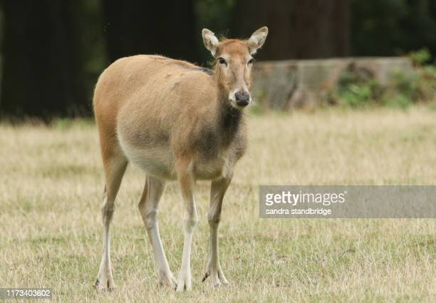 a female milu deer also known as pere david's deer) (elaphurus davidianus) standing in a field at the edge of woodland. - herbivorous stock pictures, royalty-free photos & images