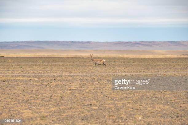 Female Mongolian gazelle roaming freely in the Gobi desert.