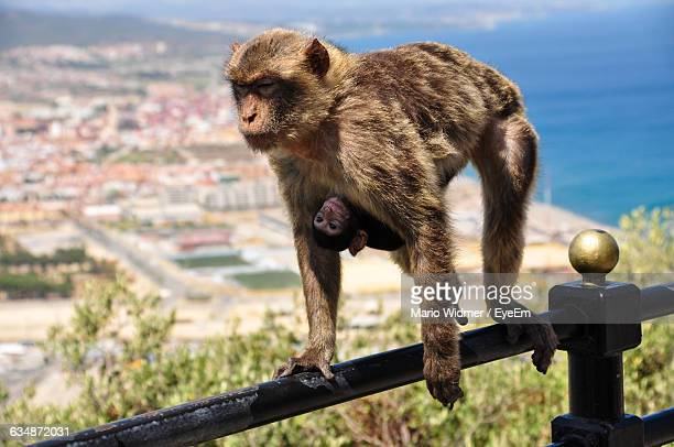 Female Monkey Carrying Young One On Railing