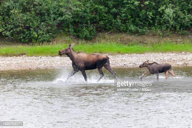 female moose in snake river,kanada,canada - kanada imagens e fotografias de stock