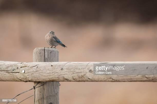 Female Mountain Bluebird Perched on Fence Post, Alberta, Canada
