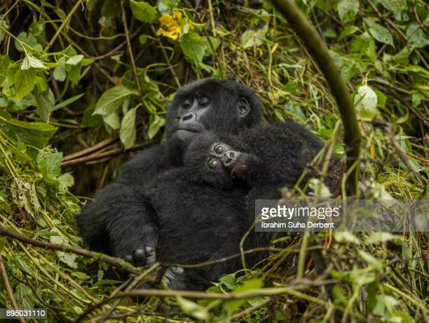Female mountain gorilla is resting on leaves with her baby.