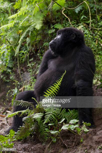 Female Mountain Gorilla looking up, Gorilla beringei beringei, Virunga National Park, Parq National des Virunga, Democratic Republic of Congo