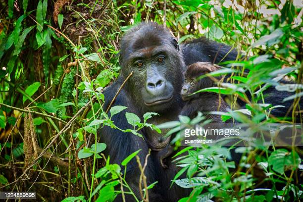 female mountain gorilla with baby in rwanda - great ape stock pictures, royalty-free photos & images