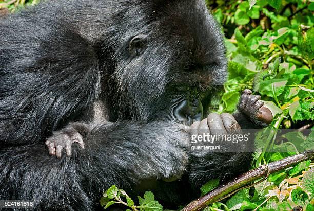 Female Mountain Gorilla with baby in Rwanda