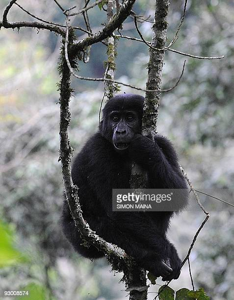 A female mountain sits in a tree in Bwindi Impenetrable forest on September 23 bordering Democratic Republic of Congo and Rwanda 561km south west of...