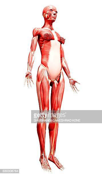 female musculature, computer artwork. - gastrocnemius stock pictures, royalty-free photos & images