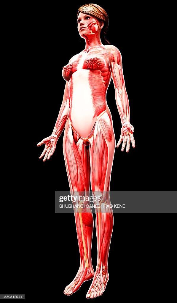 Female musculature, computer artwork. : Stock Photo