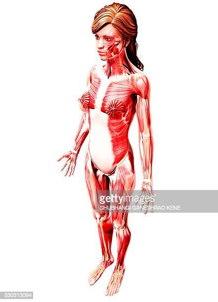 female musculature, computer artwork. - tibialis anterior muscle stock pictures, royalty-free photos & images