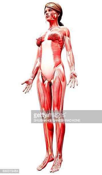 female musculature, computer artwork. - fibularis longus muscle stock pictures, royalty-free photos & images