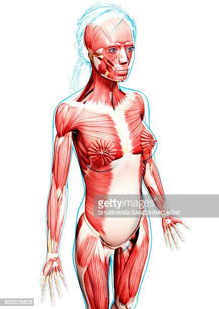female musculature, computer artwork. - vastus lateralis stock pictures, royalty-free photos & images