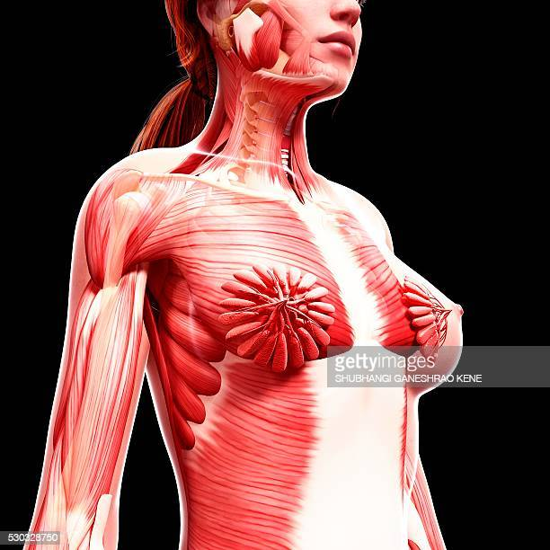 female musculature, computer artwork. - female anatomy stock photos and pictures