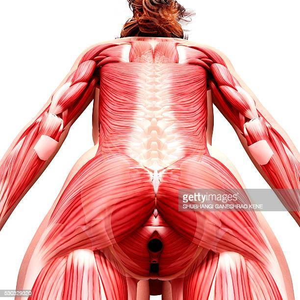 Female musculature, computer artwork.