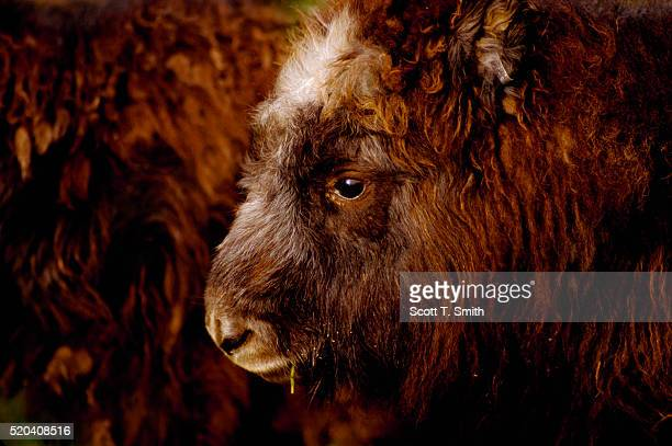 female musk ox - musk ox stock photos and pictures