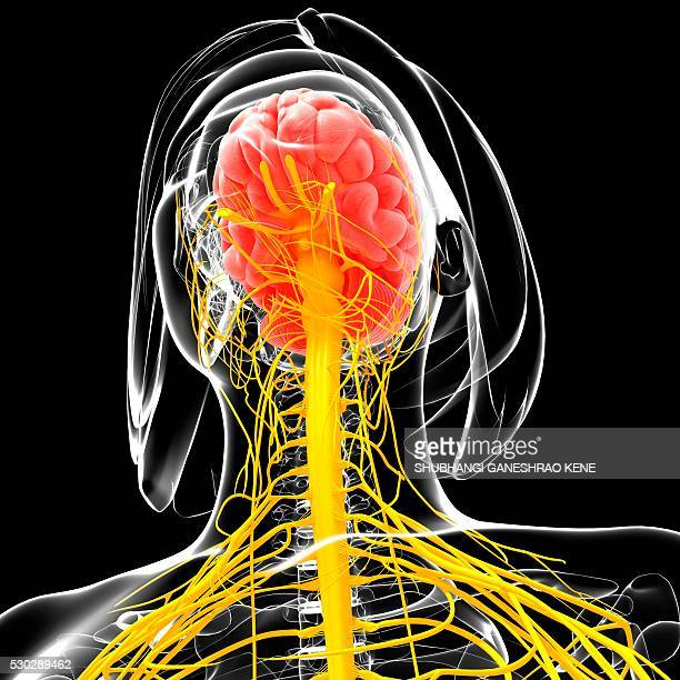 female nervous system, computer artwork. - cerebrum stock pictures, royalty-free photos & images