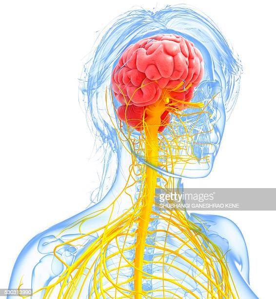 Brain stem stock photos and pictures getty images female nervous system computer artwork ccuart Choice Image