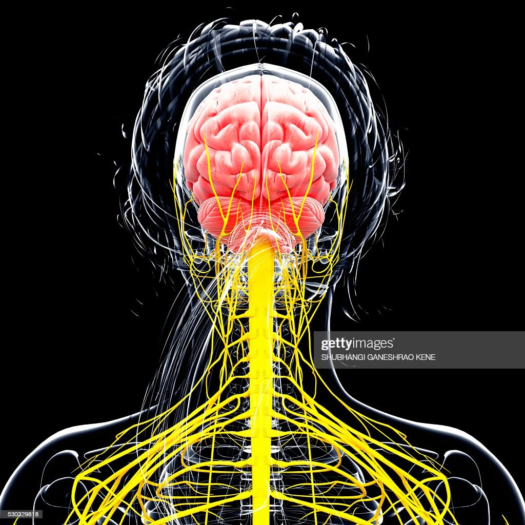 Female nervous system, computer artwork. : Stock Photo