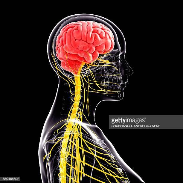 Female nervous system, computer artwork.