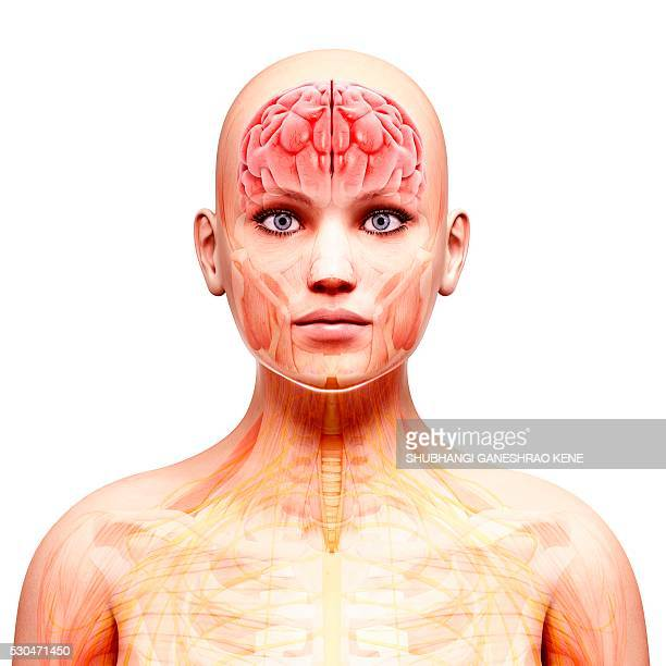 female nervous system, computer artwork. - cerebrum stock photos and pictures