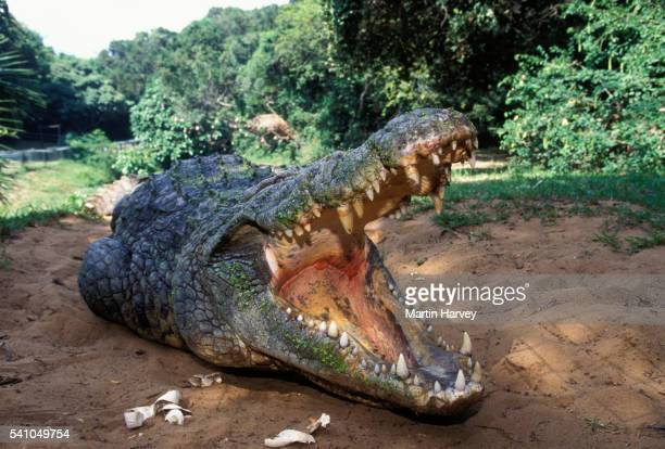 Female Nile Crocodile Guarding Nest