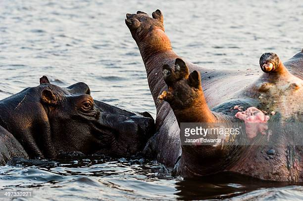 A female Nile Hippopotamus pushes around the carcass of a dead male killed in a conflict with another male.