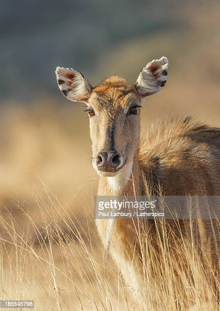 female nilgai - nilgai stock photos and pictures
