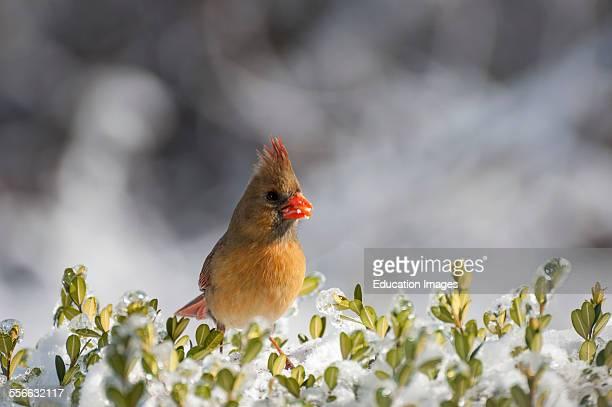 Female Northern Cardinal bird on a snowy bush The scientific name is Cardinalis cardinalis