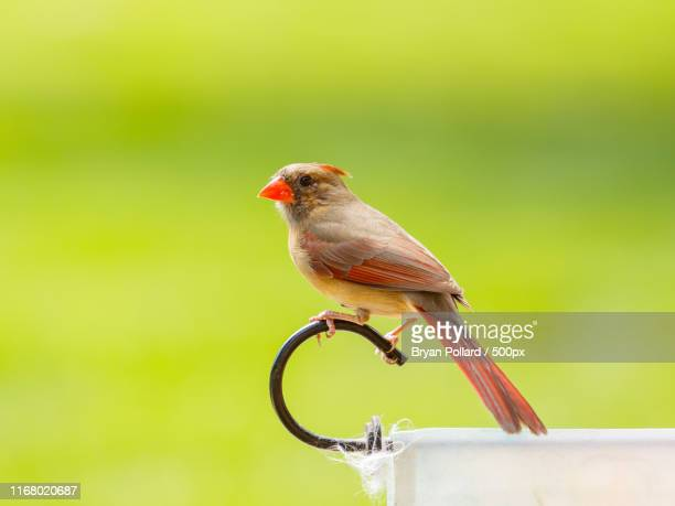 female northern cardinal - blue cardinal bird stock photos and pictures