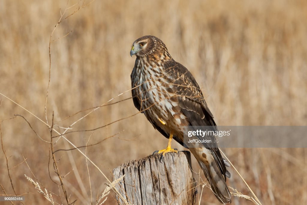 Female Northern Harrier : Stock Photo