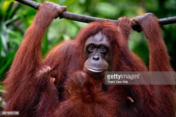 A Female Nursing Orangutan and it's Baby