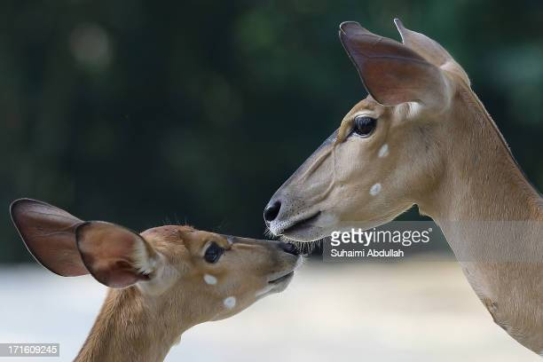 Female Nyalas are seen at the Singapore Zoo on June 27 2013 in Singapore Home to more than 2800 animals from over 300 species 26% of which are...