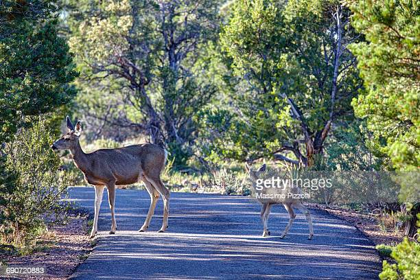 female of a mule deer with its fawn - biche photos et images de collection