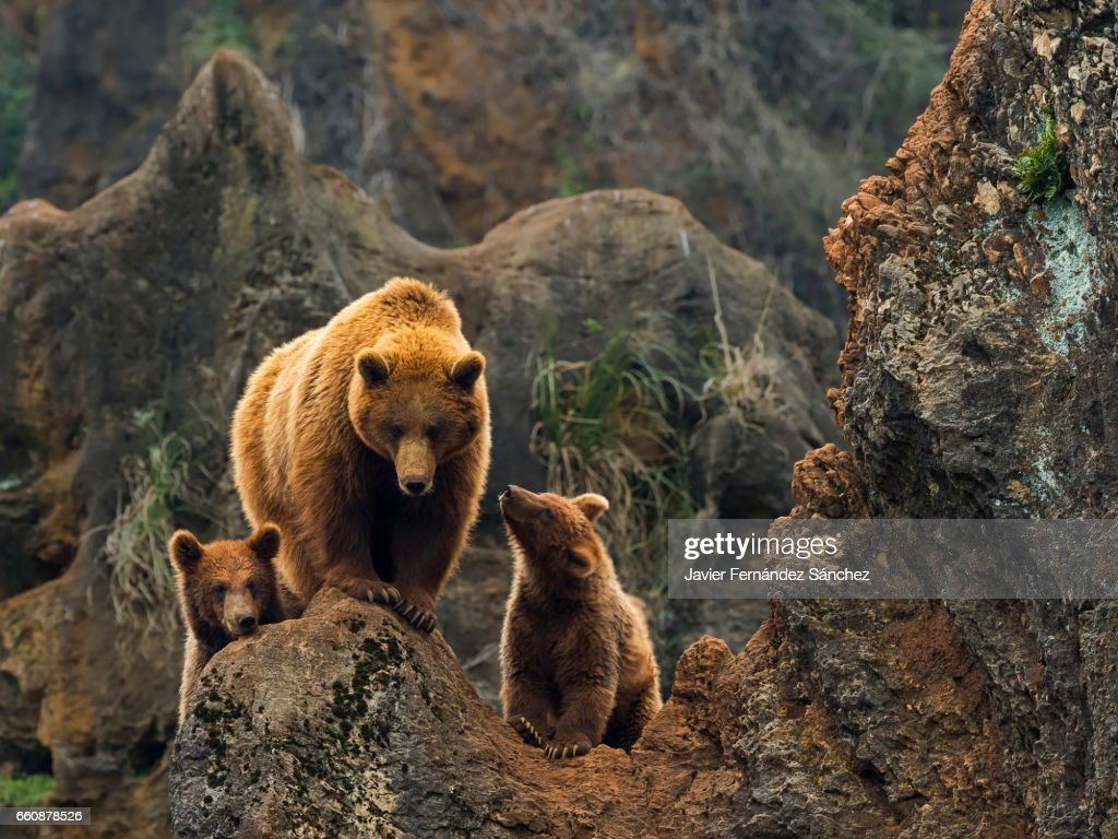 A female of brown bear, and her two cubs on top of a rock in the mountain. : Stock Photo