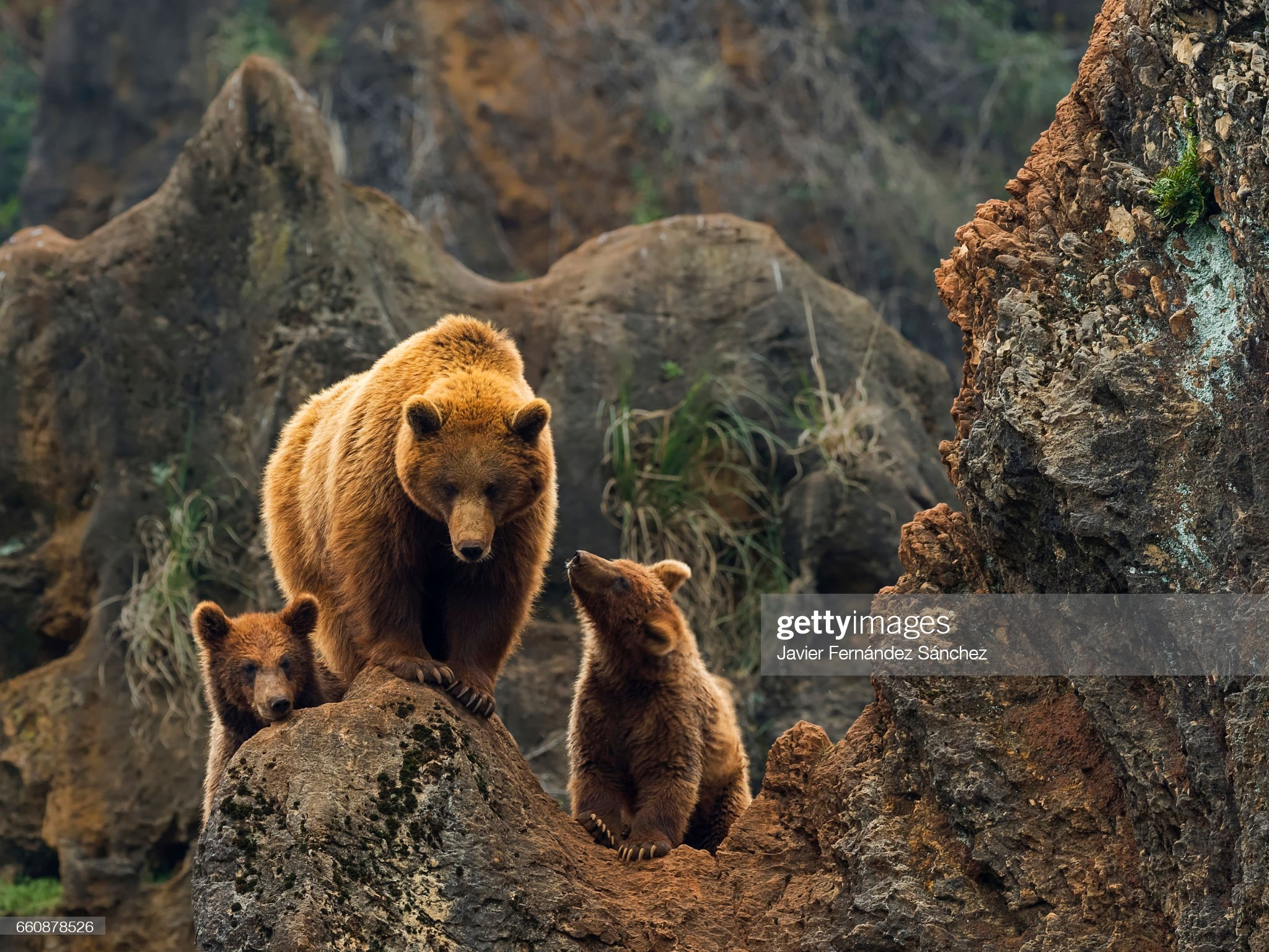 A female of brown bear, and her two cubs on top of a rock in the mountain. : Foto stock