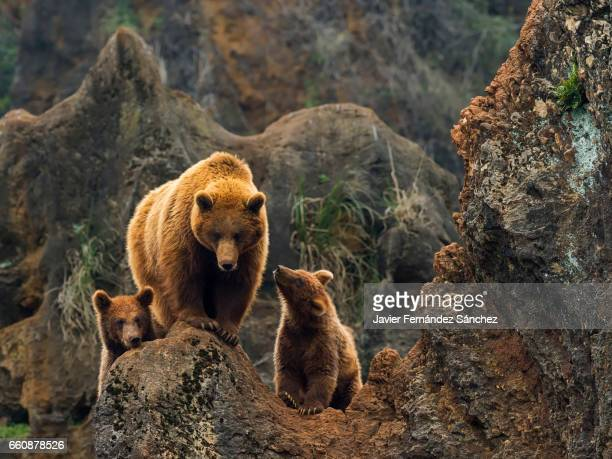 A female of brown bear, and her two cubs on top of a rock in the mountain.