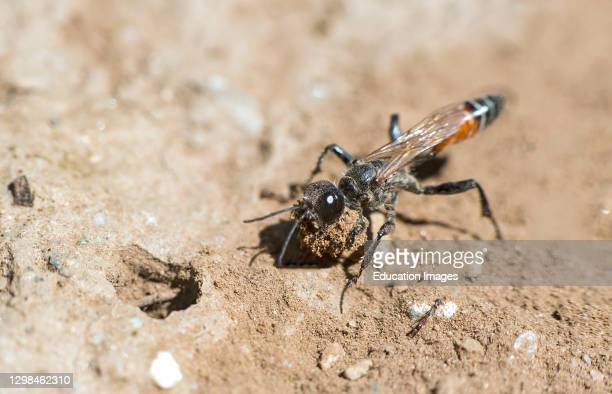 Female of Prionyx kirbii, a thread-waisted wasp, from the Sphecidae family, digging a tunnel in sandy soil, preparing for nesting, Valais,...